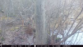 White-tailed deer at Muddy Bog (2), trail camera photo (Feb 2020)
