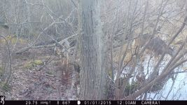 White-tailed deer at Muddy Bog (3), trail camera photo (Feb 2020)