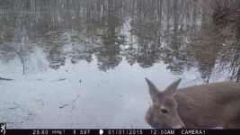 White-tailed deer at Muddy Bog (4), trail camera photo (Feb 2020)