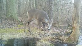 White-tailed deer near Bluebird Trail, via trail camera (Feb 2020)