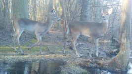 White-tailed deer near Bluebird Trail, via trail camera (Mar 2020)