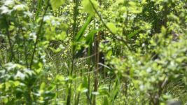 White-tailed deer doe (02) hiding in foliage near cabin (May 2019)