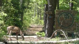 White-tailed deer doe (03) having moved to carved Refuge sign area (May 2019)