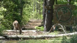 White-tailed deer doe (05) having moved to carved Refuge sign area (May 2019)