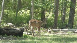 White-tailed deer doe (06) leaving the carved Refuge sign area (May 2019)