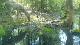 White-tailed deer series near Wild Goose Blind, 3, trail camera photos (May 2020)
