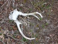 White-tailed deer skull with antler gnawed by another mammal near Station 8 (Mar 2020)