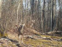 White-tailed deer, Unexpected Wildlife Refuge trail camera photo