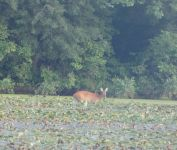 White-tailed deer and wood ducks, Unexpected Wildlife Refuge photo