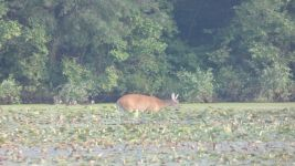 White-tailed deer and wood ducks in main pond (Jul 2019)