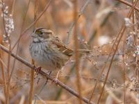 White-throated sparrow, Unexpected Wildlife Refuge photo