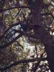 Female wild turkey in tree, Unexpected Wildlife Refuge photo