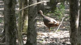 Wild turkey hen, Unexpected Wildlife Refuge photo