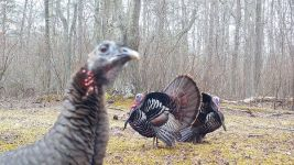 Wild turkeys, Unexpected Wildlife Refuge trail camera photo