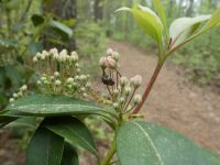 Winter firefly on mountain laurel, Unexpected Wildlife Refuge photo