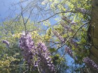 Wisteria behind Miller House (Apr 2019)