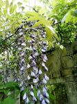 Wisteria behind Miller House (May 2019)