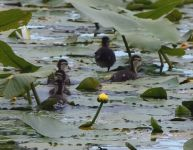 Wood duck babies, Unexpected Wildlife Refuge photo