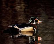 Male wood duck, photo by Bernie Hall