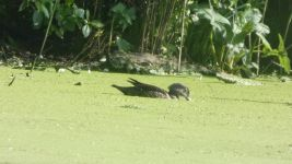 Female wood duck eating duckweed in main pond, Unexpected Wildlife Refuge photo