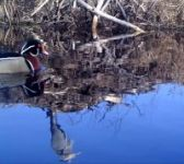 Wood duck and great blue heron, Unexpected Wildlife Refuge trail camera photo