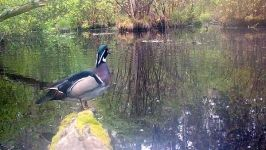 Wood duck, Unexpected Wildlife Refuge trail camera photo