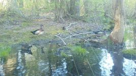 Wood ducks near Wild Goose Blind, Unexpected Wildlife Refuge trail camera photo