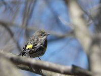 Female yellow-rumped warbler, Unexpected Wildlife Refuge photo