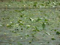 Yellow water-lily pads with flowers in main pond (May 2020)